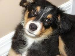 6 month australian shepherd border aussie dog breed information and pictures