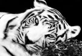 canvas art print framed black and white tiger wall picture ready