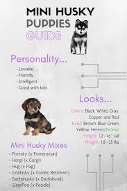 mini husky puppies everything you need to know mini husky lovers