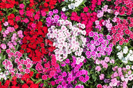 dianthus flower dianthus flower stock photo 471336618 istock