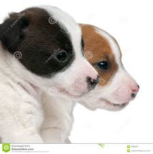 bichon frise x jack russell close up of jack russell terrier puppies stock photo image 18990310