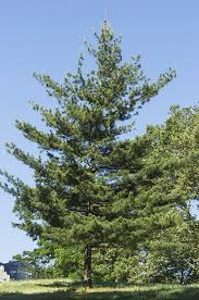 white pine tree tree guide the official website of central park nyc