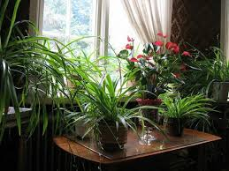 beautiful indoor plants fulfill the role of decoration hum ideas