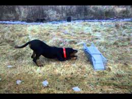 bluetick coonhound vs redbone coonhound black and tan coonhound vs raccoon youtube