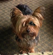 haircuts for yorkies miniature yorkshire terrier haircuts for yorkies