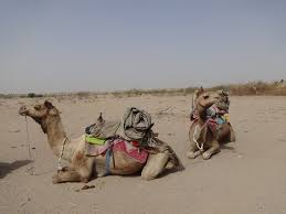 thar desert animals camel riding through the thar desert now or never kathrin u0027s
