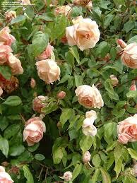 climbing tea rose u0027souvenir de madame leonie viennot u0027 roses