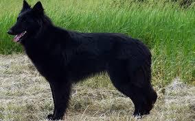 belgian sheepdog groenendael groenandael breed dog breed information
