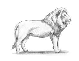how to draw a lioness