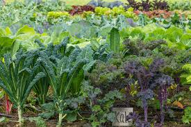 Winter Vegetable Garden Southern California How To Grow Kale In The Home Vegetable Garden