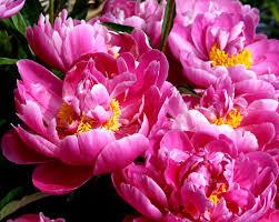 Peony Flowers Free Picture Peonies Flowers Pistil Spring