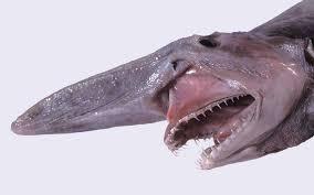 goblin shark shark facts information