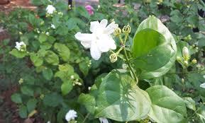 file jasmine flower full bloom on the plant near hyderabad andhra