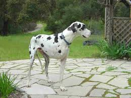 Blind Great Dane Tripawds Giant Breed Tripod Dog Moose Marches With The Big Dogs