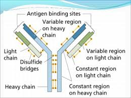 heavy chain light chain antiboy structure an function