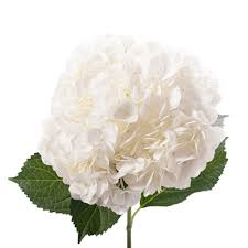 white hydrangeas white hydrangeas in bulks wholesale prices farm direct