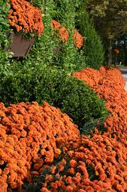 mums flower mums flowers plants natural floral orange color growth free