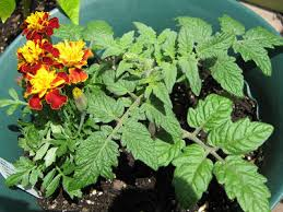 Types Of Garden Beans - unaccustomed earth did you plant marigolds in your garden this year