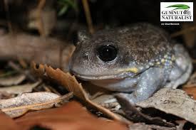 giant burrowing frog gumnut naturalist