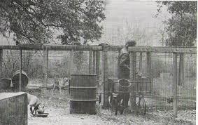 american pitbull terrier kingfish bloodline history of carver pit bull bloodline good pit bulls