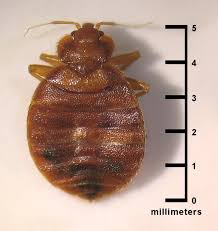 What Do A Bed Bug Look Like Bed Bug Symptoms U2013 8 Signs Of Bed Bugs You Need To Know