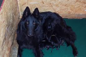 belgian sheepdog club of america national specialty shetara belgians akc belgian sheepdog puppies for sale occasionally