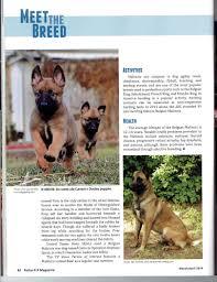 belgian sheepdog michigan belgian malinois puppies
