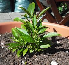 file small citrus plant jpg wikimedia commons