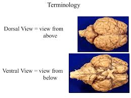 Gross Brain Anatomy This Is My Favorite Lab Gross Anatomy Of The Brain U0026 Cranial