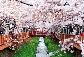 the cherry blossom festival u2013 korea u0027s top three sites exploration