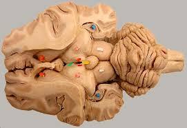 Gross Brain Anatomy Lab 3 Brain Gross Anatomy Diencephalon