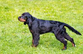 types of setter dog breeds gordon setter dog breed information pictures characteristics