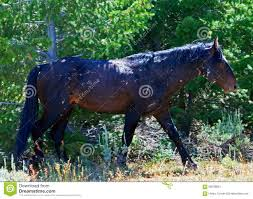 black mustang horse scarred and beaten up black mustang wild horse stud stallion stock