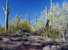 Arizona vegetaion images Ironwood forest jpg