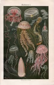 jellyfish medusen from brockhaus konversations lexikon
