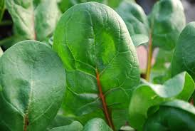 spinach varieties types of spinach varieties of spinach