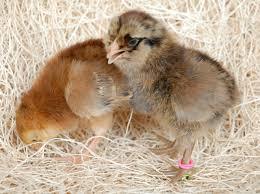 buy easter egger chickens easter egger chickens for sale chickens for backyards