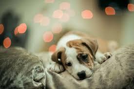 cute dog christmas wallpapers christmas dog wallpaper