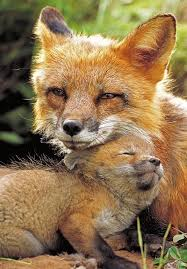 sleeping red fox wallpapers 567 best mr fox images on pinterest pet fox red fox and wild