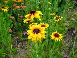 carol u0027s greenville nc garden may 2014