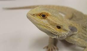 bearded dragon displays true colors neck