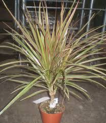 dracaena plants are the strangest people fall guy dracaena marginata