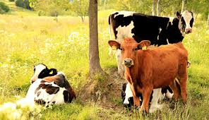 Backyard Cattle Raising Have A Cow U2014a Pet Cow Hobby Farms