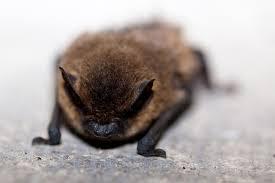 bat rabies death florida worms u0026 germs blog