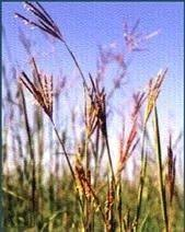 pase seeds ornamental grass seed sterilis seeds 3 29