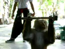 Monkey Bench Monkey Lifting Weights Youtube
