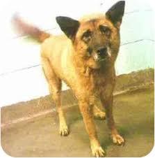 belgian shepherd new york coco adopted dog sweet shiba mix new york ny shiba inu