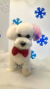 bichon frise dog pictures facts about teddy bear dogs dog bichon frise and bichons