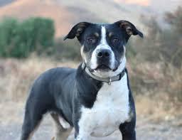 australian shepherd quesnel australian cattle dog blue heeler u0026 pit bull terrier mix