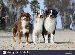 australian shepherd red merle puppy dog australian shepherd aussie three adults sitting blue merle